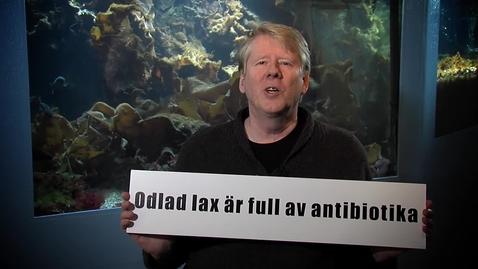 Tumnagel för Odlad lax är full av antibiotika