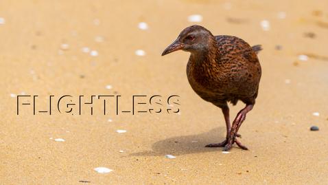 Tumnagel för Forskare förklarar: Flightless birds
