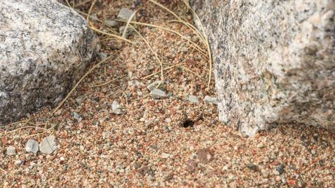 Thumbnail for entry Pollinerarveckan 2020 - Sandbädd för pollinerande insekter