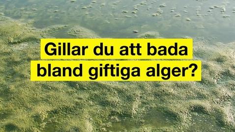 Miniatyr för mediepost Gillar du att bada bland giftiga alger?